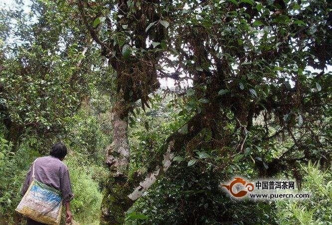今年莽枝古树茶多少钱一斤