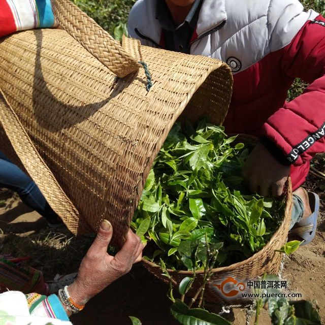 落水洞2019年普洱春茶价格
