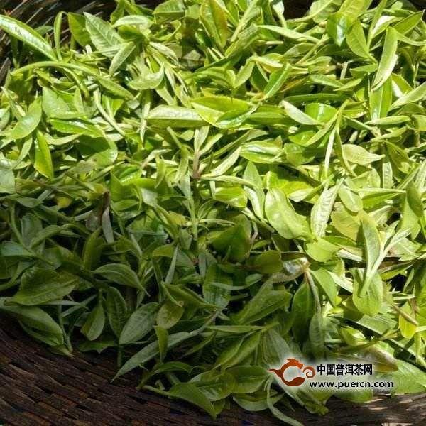 今年千家寨茶王树价格